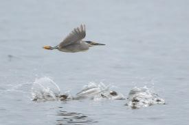 Striated Heron at Seletar Dam. Photo Credit: Francis Yap