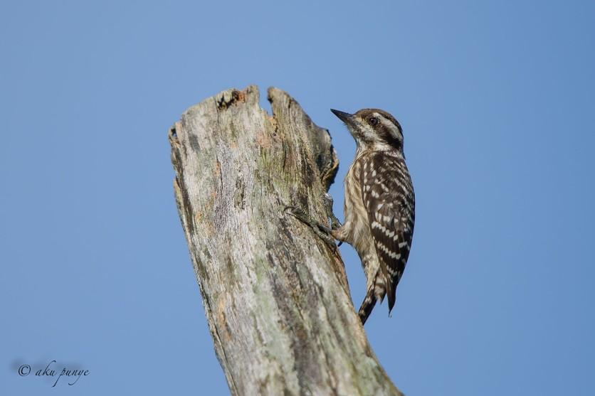 Female Sunda Pygmy Woodpecker. Photo Credit: Zahidi Hamid.