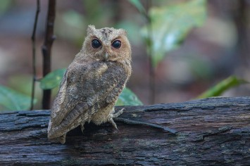 Sunda Scops Owl at Lower Pierce Reservoir. Photo credit: Adrian Silas Tay