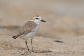 Male Kentish Plover subspecies dealbatus aka Swinhoe's Plover, at Marina Barrage Photo Credit: Francis Yap