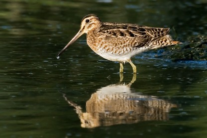 Swinhoe's Snipe at Derby Wetlands, Derby, Western Australia. Photo Credit: Eric Tan
