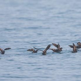 Swinhoe's Storm Petrel at Singapore Strait. Photo credit: Francis Yap
