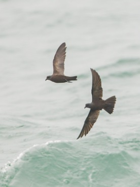 Swinhoe's Storm Petrel at Singapore Strait. Photo credit: Francis Yap