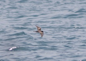 Swinhoe's Storm Petrel at Singapore Strait. Photo credit: See Toh Yew Wai