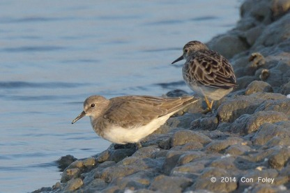 Temminck's Stint at Laem Pak Bai, Thailand. Photo Credit: Con Foley