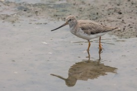 Terek Sandpiper at SBWR. Photo Credit: Francis Yap