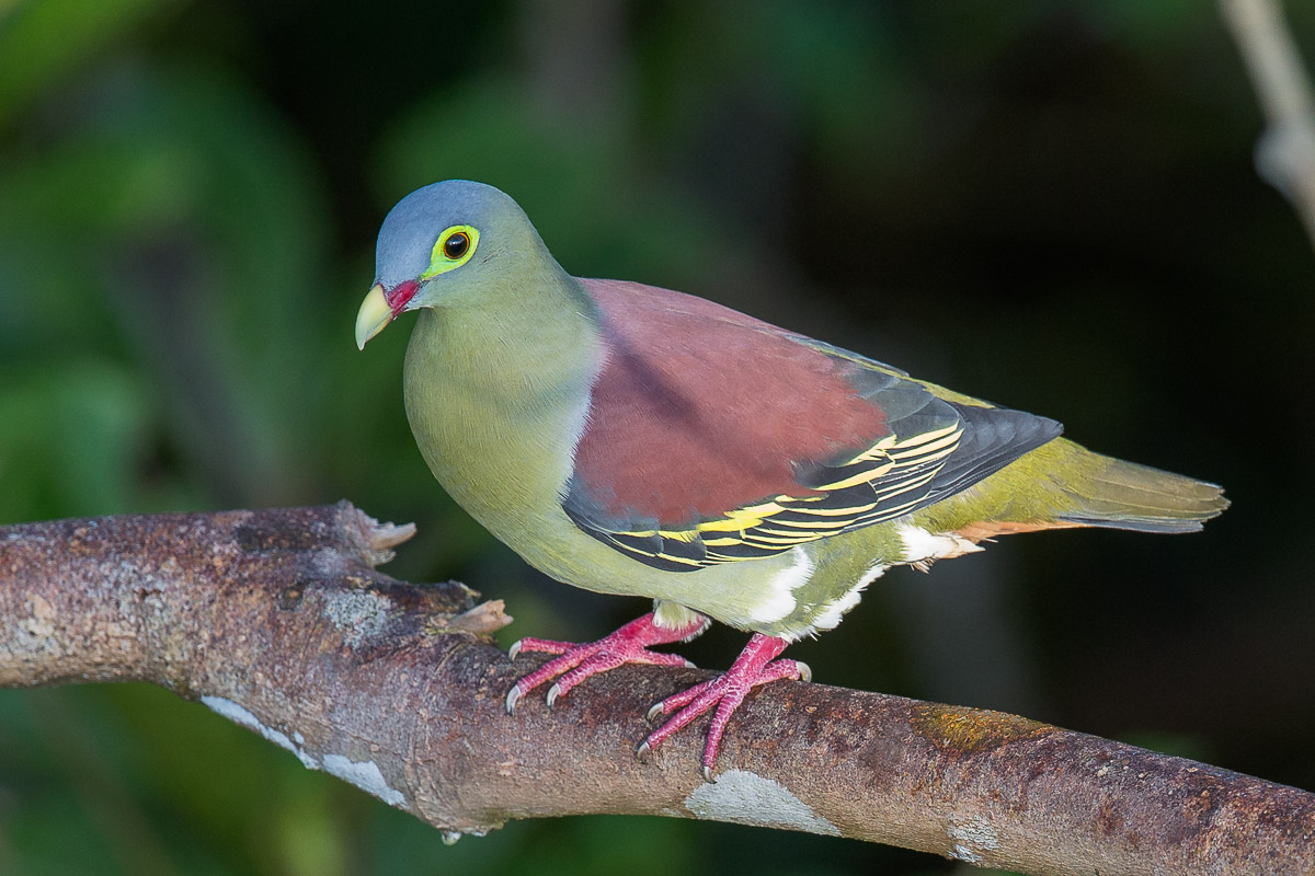 Thick billed green pigeon singapore birds project for Birds project