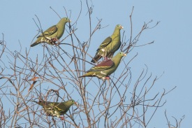 Thick-billed Green Pigeons at Jelutong Tower. Photo Credit: Francis Yap