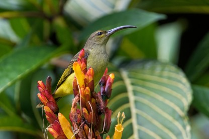 Thick-billed Spiderhunter from Borneo. Photo credit: Adrian Silas Tay