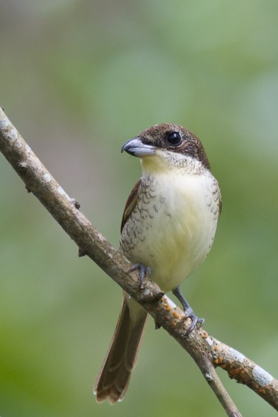 Juvenile Tiger Shrike from Bidadari