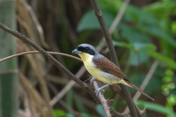Adult male Tiger Shrike from Bidadari