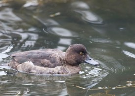 Tufted Duck (female) at Tokyo Imperial Palace. Photo credit: See Toh Yew Wai