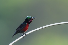 Male Van Hasselt's Sunbird at Jelutong Tower. Photo Credit: Francis Yap