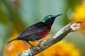 Male Van Hasselt's Sunbird at Lower Peirce. Photo Credit: Francis Yap