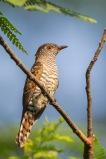 Female Violet Cuckoo at Neo Tiew Lane 2. Photo Credit: Francis Yap