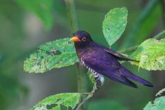 Male Violet Cuckoo at Jurong Eco Garden. Photo Credit: Francis Yap