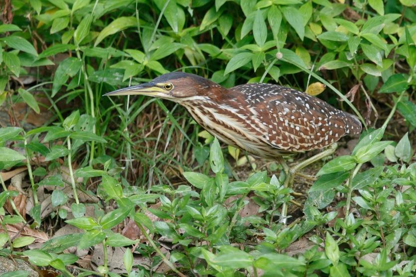Female Von Schrenck's Bittern at Sungei Buloh Wetland Reserve. Photo credit: Francis Yap