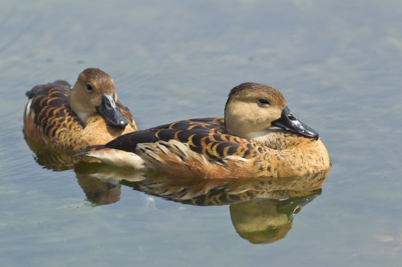 Wandering Whistling Duck. Photo credit: Francis Yap