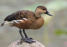 Wandering Whistling Duck at Satay by the Bay. Photo credit: See Toh Yew Wai