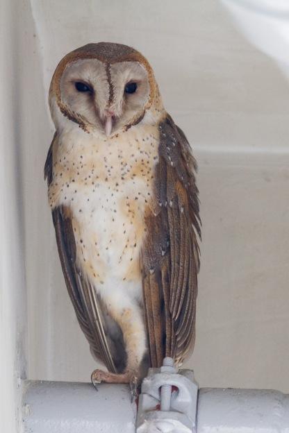 Eastern Barn Owl at Marina Barrage. Photo credit: Francis Yap