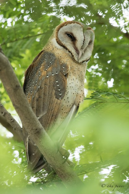 Eastern Barn Owl. Photo credit: Mohamad Zahidi