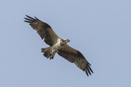 Western Osprey at Punggol. Photo Credit: Francis Yap
