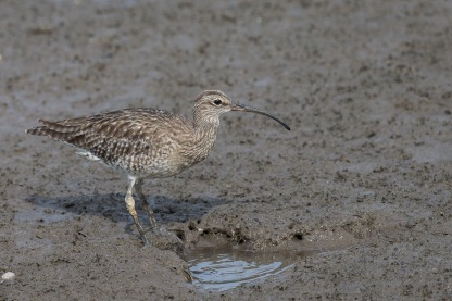 Whimbrel at SBWR. Photo Credit: Francis Yap