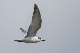 Non-breeding Whiskered Tern at Mandai Mudflats. Photo Credit: Francis Yap