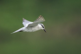 Non-breeding Whiskered Tern at Sungei Serangoon. Photo Credit: Francis Yap