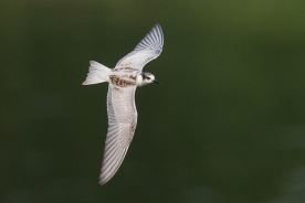 First winter Whiskered Tern at Sungei Serangoon. Photo Credit: Francis Yap