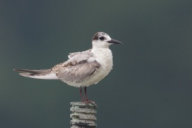 First winter Whiskered Tern at Kranji Marsh. Photo Credit: Francis Yap