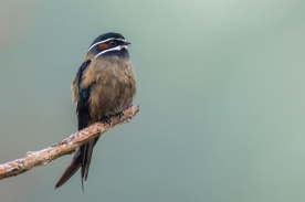 Male Whiskered Treeswift at Panti. Photo credit: Francis Yap