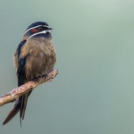 Male Whiskered Treeswift at Panti. Photo credit: Francis Yap