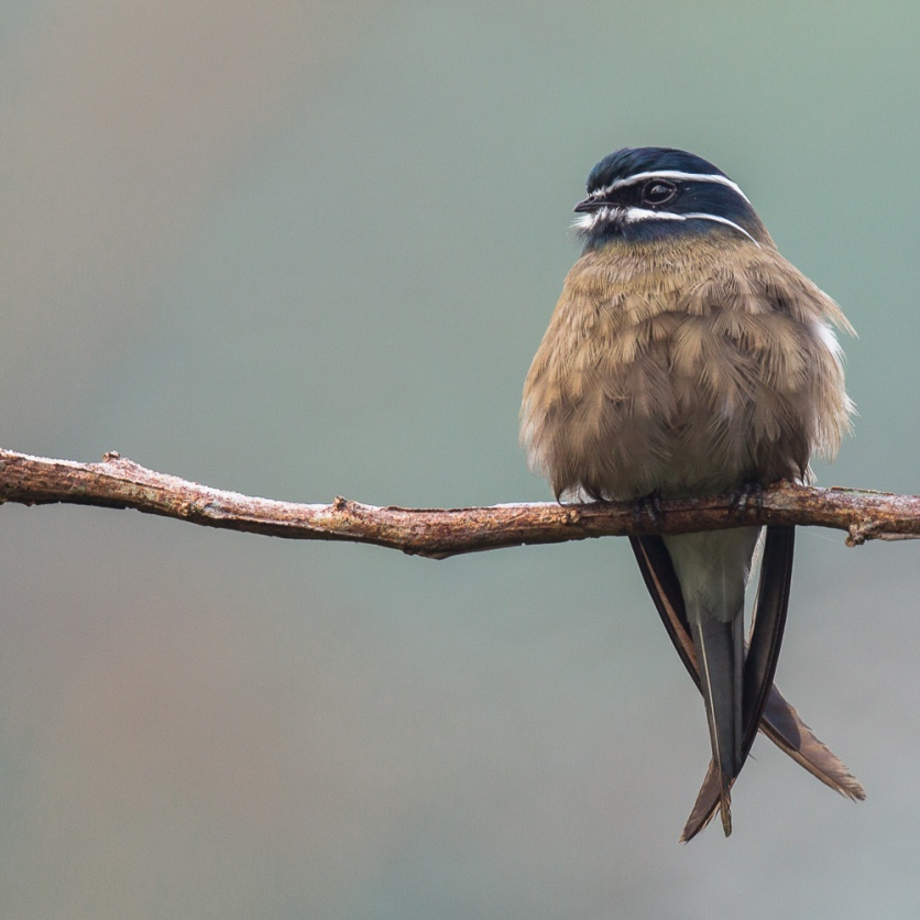 Female Whiskered Treeswift at Panti. Photo credit: Francis Yap