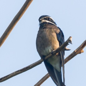 Female Whiskered Treeswift at Rifle Range Link. Photo credit: Francis Yap