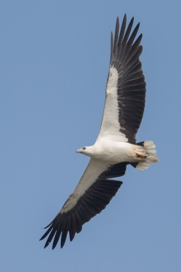Adult White-bellied Sea Eagle at SBWR. Photo credit: Francis Yap