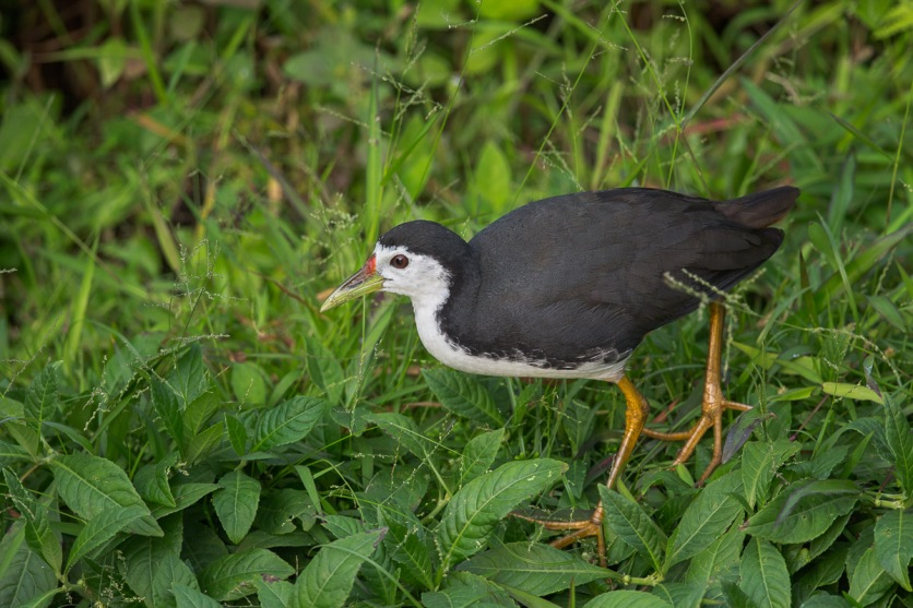 Adult White-breasted Waterhen at Sengkang Floating Wetland. Photo Credit: Francis Yap