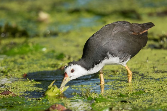 Adult White-breasted Waterhen. Photo Credit: Zahidi Hamid