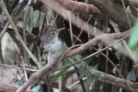 Screen capture of a White-chested Babbler from a video at Pulau Tekong. Photo Credit: Albert Low