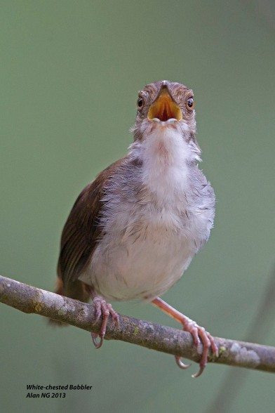 White-chested Babbler from Panti Bird Sanctuary. Photo credit: Alan Ng