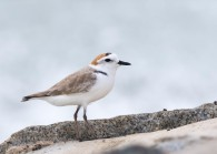 Male Kentish Plover subspecies dealbatus aka Swinhoe's Plover, at Marina Barrage. Photo Credit: See Toh Yew Wai