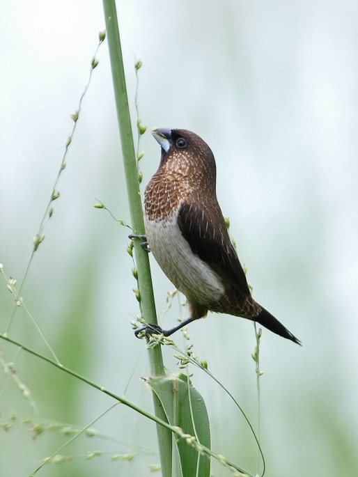 White-rumped Munia at Neo Tiew Lane 2 in April 2009. Photo credits: Chong Boon Leong aka Wotoki
