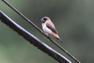 White-rumped Munia at Wuyuan, China. Photo credits: Myron Tay