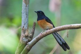 Male White-rumped Shama at Central Catchment Nature Reserve. Photo Credit: Francis Yap