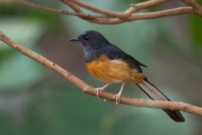 Female White-rumped Shama at Ubin. Photo Credit: Francis Yap