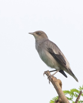 Female White-shouldered Starling at Punggol. Photo credit: See Toh Yew Wai