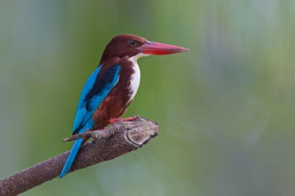White-throated Kingfisher at Bidadari. Photo Credit: Alan Ng