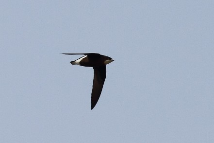 White-throated Needletail from China. Photo credit: Myron Tay
