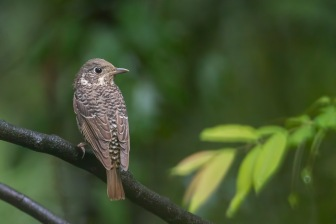 Female White-throated Rock Thrush at Bukit Timah summit. Photo Credit: Francis Yap