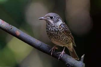 Female White-throated Rock Thrush at Bukit Timah summit. Photo Credit: Alan Ng